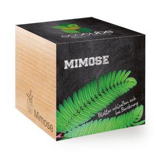 Mimose im Holzwürfel